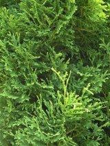 Arborvitae=Thuya-アーボビタエ=ツヤ(ホワイトシダー)-