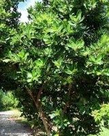 Calophyllum-カロタ油(カロフィラム油)-