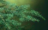 【数量限定販売】Hemlock=Canadian Tsuga-カンディアン・ツガ-