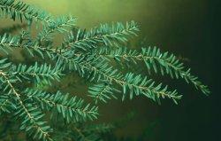 画像1: 【数量限定販売】Hemlock=Canadian Tsuga-カンディアン・ツガ-